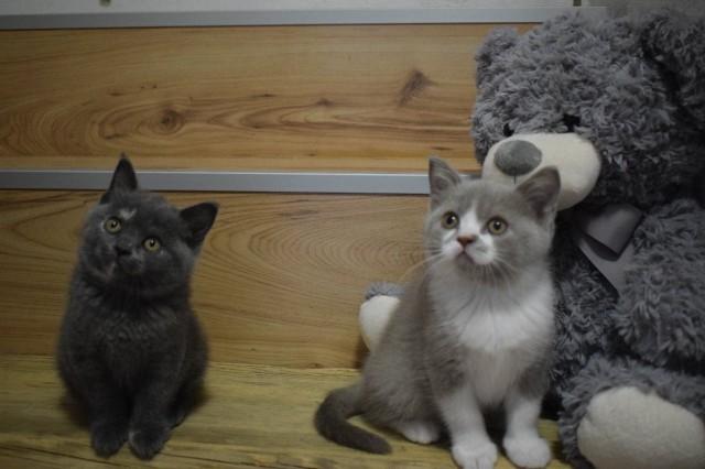 Britská kočička s PP 5c7f572d4ca