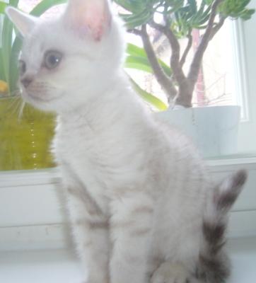 Nabízím k prodeji brit.kotě-kocourka v barvě čokoládově tečkovaný.s p.p. 46495a91355