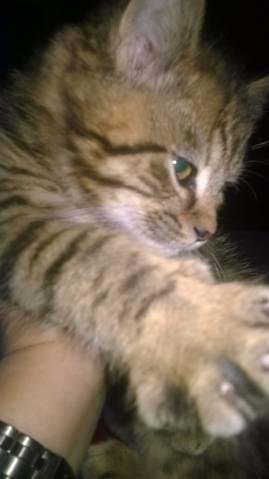 Prodám britské kotě - kocourek 2026bb8818
